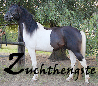 zuchthengste